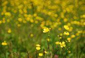 Wild Buttercup Field
