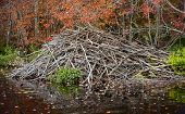 Beaver Dam In An Autumn Forest