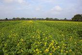 Mustard Crop