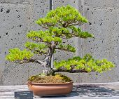 Bonsai Tree On Display