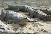 Gharial Crocodile In Sand