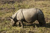 One-horned Rhino In Nepal