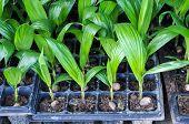 Seedlings Of Oil Palm