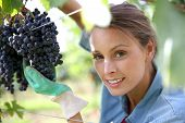 Beautiful woman in vineyard picking grape