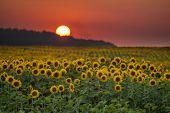 sunflower field and orange sunset