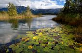 Water Lily Flowers On Alpine Lake In Bavarian Alps