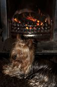 Yorkie Terrier In Front Of Fire