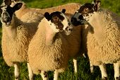 Sheep weighing up their options
