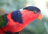 Black Capped Lorikeet