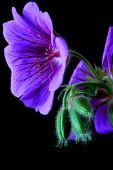 Garden Geranium (ger. × Magnificum)