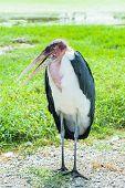 african stork bird marabou portrait
