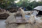 BAIDYAPUR, INDIA - DEC 02: Rice is threshed/winnowed on Dec 02, 2012 in Baidyapur, West Bengal, Indi