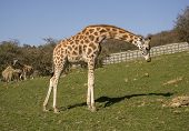 Full Grown Giraffe