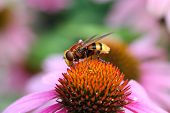 foto of hornet  - Volucella sun aria, the hornet mimic hoverfly