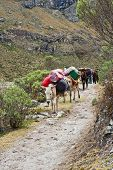 stock photo of mule  - Mule train in the mountain of the peruvian andes - JPG