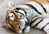 Sleeping Siberian Tiger
