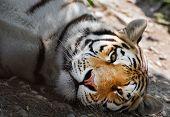 Lying Siberian Tiger