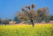 Freshly bloomed saag flower in north india