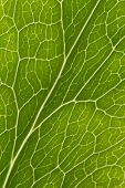 foto of helleborus  - Macro photograph of veins of Hellebore leaf - JPG