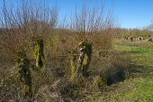 Row of pollard willows in a field in winter