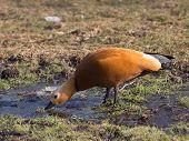 Red Duck With Dark Neck Drinking Water