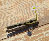 White Daisy Gripped In The Clothes Pin