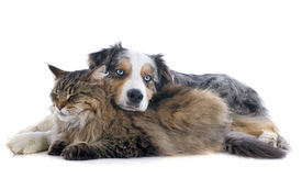 pic of coon dog  - australian shepherd and maine coon cat in front of white background - JPG