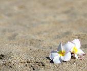 flowers Plumeria