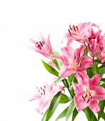 Fresh Pink Lily Flower Blossoms Isolated On White
