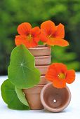 Nasturtiums Amont Terracatta Pot