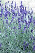 stock photo of lavender plant  - fresh lavender plants field. selective focus aroma