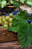 vine ripe grapes