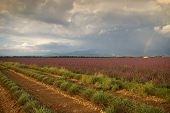 France, Evening In Provence, Lavender Fields And Rainbow After The Storm