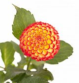 Cute little pompom dahlia isolated on white.