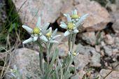 Mount Flowers - Edelweisses