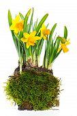 Fresh Narcissus Plant On White Background