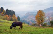 Autumn landscape. Foggy day in the mountainous village. Cow on pastbysche. Carpathians, Ukraine, Eur