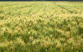 Field of wheat, Japan