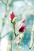 Beautiful Magnolia Blossoming Over Blurred Background