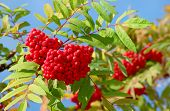 image of mountain-ash  - Large clusters of mountain ash rowen berries on a background of blue sky