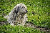 Watchful Romanian Shepherd Dog On The Green Grass