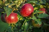 Fresh Red Apples In The Sunlight After A Rain