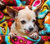 a cute chihuahua on a retro vintage paisley microfiber fleece throw