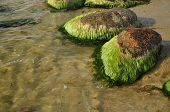 picture of green algae  - Green algae on the rocks in the clear water - JPG