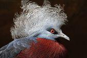 Exotic Bird - Goura Scheepmakeri