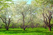 Beauty fresh blooming of decorative white apple, fruit young peach trees over bright blue sky in col