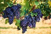 stock photo of farm landscape  - purple red grapes with green leaves on the vine - JPG