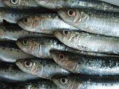 fish, very fresh sardines