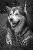 Alaskan Malamute Male Dog Portrait