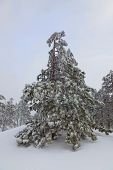 Snow-covered trees on the top of the ridge Iograf